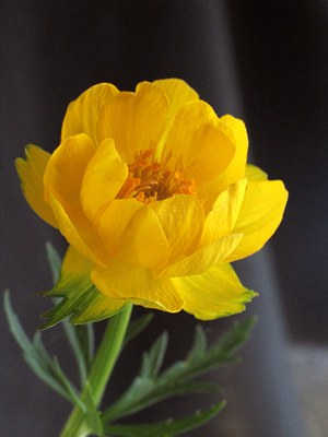 Trollius Miss Mary Russell